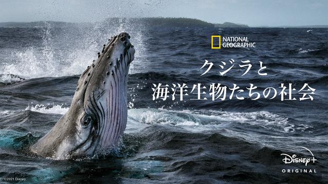 「クジラと海洋生物たちの社会」 (C) 2021 NGC Network US, LLC. All rights reserved.